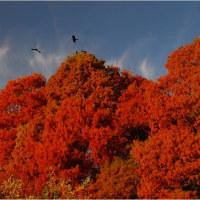 メタセコイア・あけぼの色の落葉が。   16.12月8日