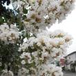 さるすべりの花が街路地に~
