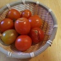 庭のトマトを、こんな事で