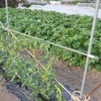 トマト、最初の畝は全て植え付けた。