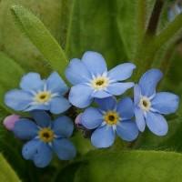 野に咲く花と庭の花 ―忘れな草とヤマルリソウ―