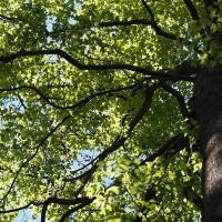 楓(フウ)の木、その実は生薬「路路通」