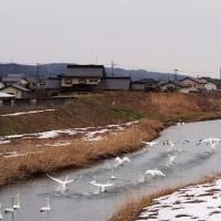 白鳥 田尻池編 2017.2.9