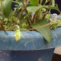 スミレの育て方4月 スミレの管理  スミレの種子の採取