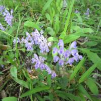 裏の公園の土手に紫の小花が密生して奇麗でした