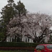 今年も咲いた!早咲きのサクラ突風ドリスにも負けず、現在満開