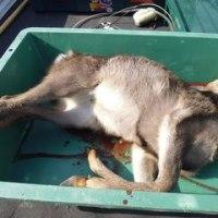 12月9日有害鳥獣捕獲「鹿」