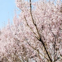 今治市玉川町で桜が満開になっています