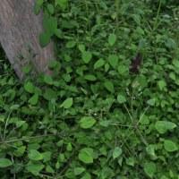 四葉の日本茜が6つの葉