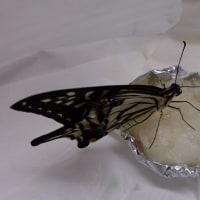 羽根が伸びなかった蝶