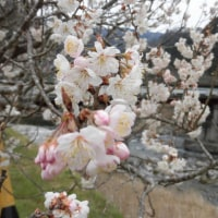寒桜と名松線、アカシア