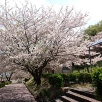 見おさめの桜