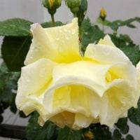 久しぶりの雨に、黄色いバラも映える