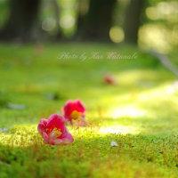 苔と椿のコラボ:岡山後楽園