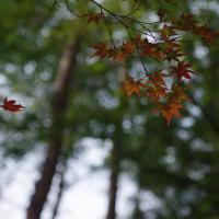 カエデの紅葉は、これから、おおの自然観察の森 2016