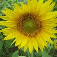多々良区の向日葵