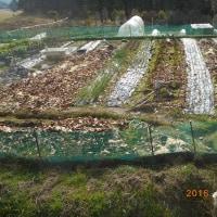 畑全景 チップ 米ぬかを入れて土作り中