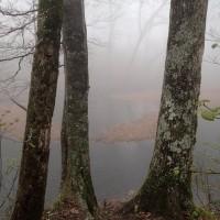 霧の乙和池:ミズナラの巨木の間から浮島を望みます。霧でかすかにしか見えません。