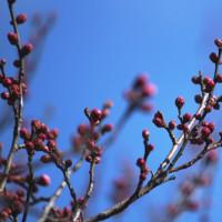 ロウバイの香り漂う・神代植物公園
