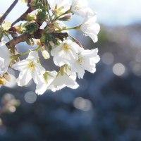 オオシマザクラも咲いた