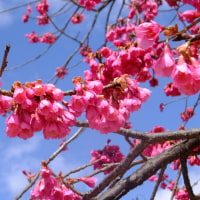 カンヒザクラ(寒緋桜)見頃です。