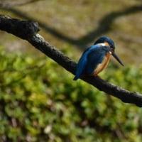 170226 春日公園へヤツガシラ、アリスイを撮るべくチャレンジ、会えず、カワセミと遭遇!!