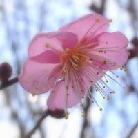 紅梅も花を見せる