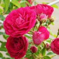 今年の薔薇はとてもいい感じ~