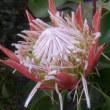 キングプロテア King Protea  ( 南アフリカの国花)