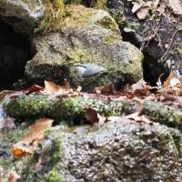 2017年4月15日、鳥撮り『山中湖の春は、まだ早かった』なぁ~
