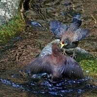 カワガラス幼鳥、今朝の市内のスモッグは?きょうの一句「春暁」