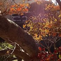 満天星の紅葉*老木でも頑張っています