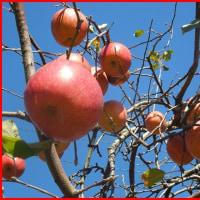 りんごとリンゴ♪