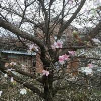 四季桜が咲いたよ