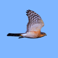 2016.10.27(木)の日誌(秋の鷹渡り#16-16-01:ハイタカ♂成鳥の飛翔)