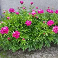 5月の花 NO.5(芍薬)
