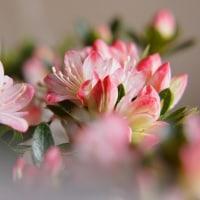 ツツジ (花 4420)