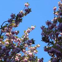 染井吉野の あとにも桜あり
