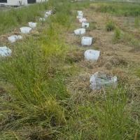 野菜苗を植える