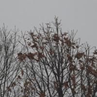 冬芽の観察82カシワ1