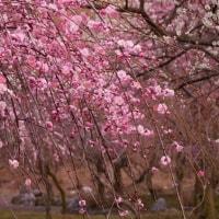 しだれ梅(いなべ農業公園Ⅳ)