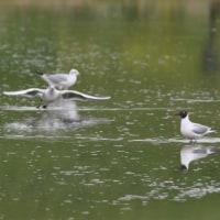 水の溜まった田んぼに、ユリカモメの群れがいた。