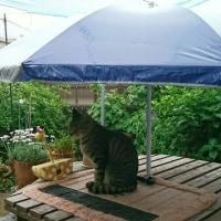 わが家のキジ猫徳ちゃんパラソルの下で雨宿り!!
