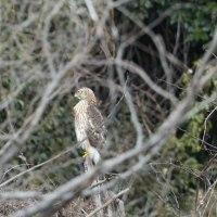 木の隙間から、オオタカの若鳥が見えた。