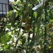 庭のサルスベリと野菜たち 🌿 2017年7月21日