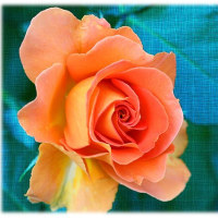公園の薔薇1