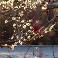 御苑の梅も開花