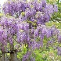 横須賀しょうぶ園 藤の花