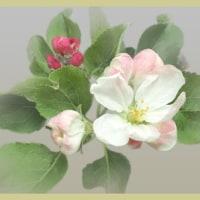 りんごの花も
