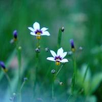庭石菖 (花 4427)